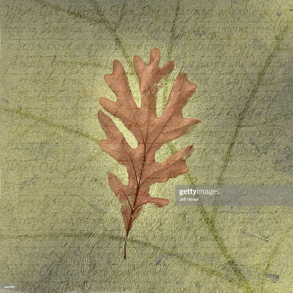 White Oak Leaf on Descriptive Background : Stock Illustration