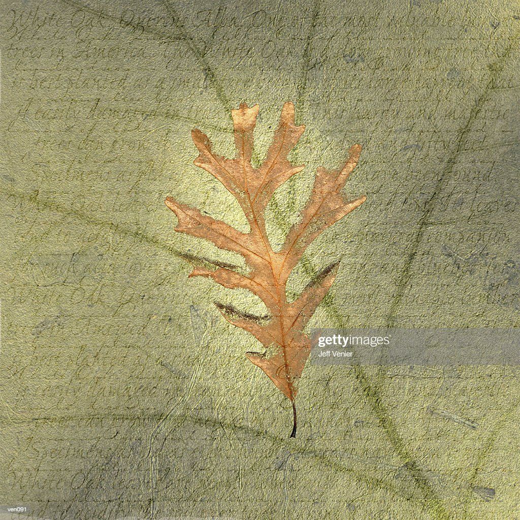 White Oak Leaf on Leaf Veining Background : Stock Illustration