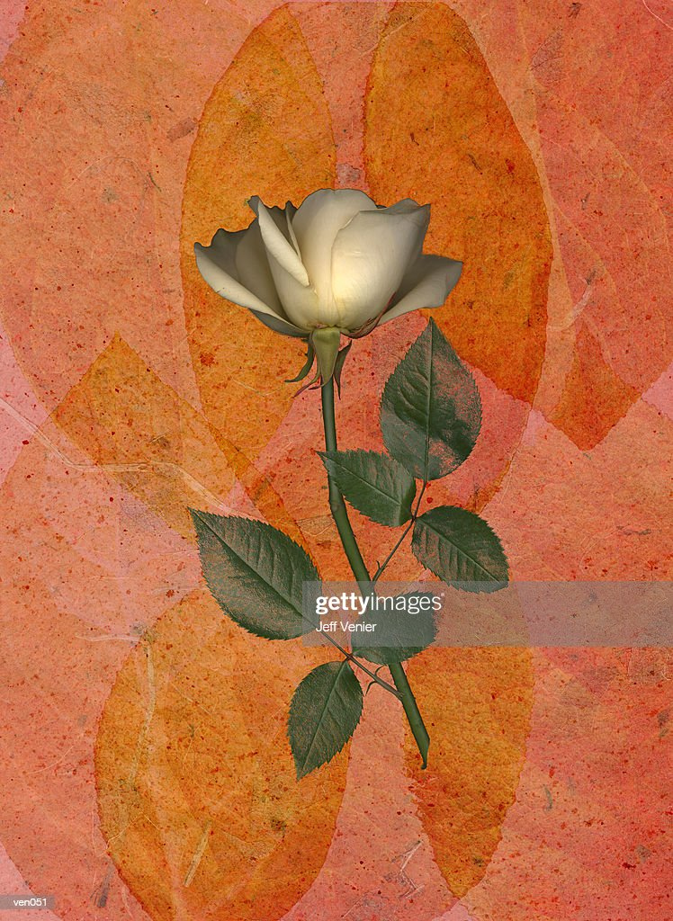 White Rose on Leaf Background : Stock Illustration