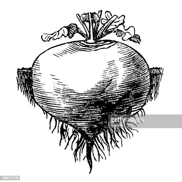 white, round turnips - rutabaga stock illustrations, clip art, cartoons, & icons