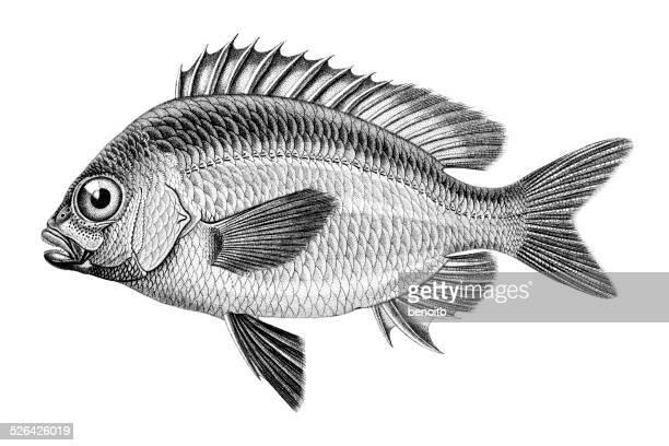 illustrations, cliparts, dessins animés et icônes de whitecheek monocle dorade - poisson