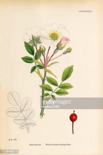 white-flowered trailing rose, rosa arvensis, victorian botanical illustration, 1863 - botany stock illustrations
