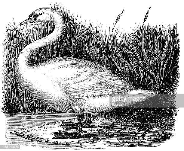 whooper swan (cygnus cygnus) - swan stock illustrations
