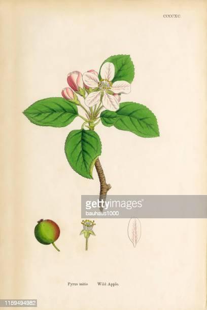 ilustraciones, imágenes clip art, dibujos animados e iconos de stock de wild apple, pyrus mitis, ilustración botánica victoriana, 1863 - manzano