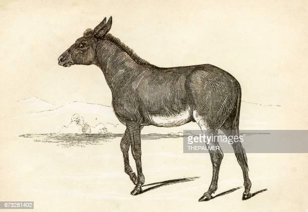 ilustraciones, imágenes clip art, dibujos animados e iconos de stock de asno salvaje grabado 1851 - mula