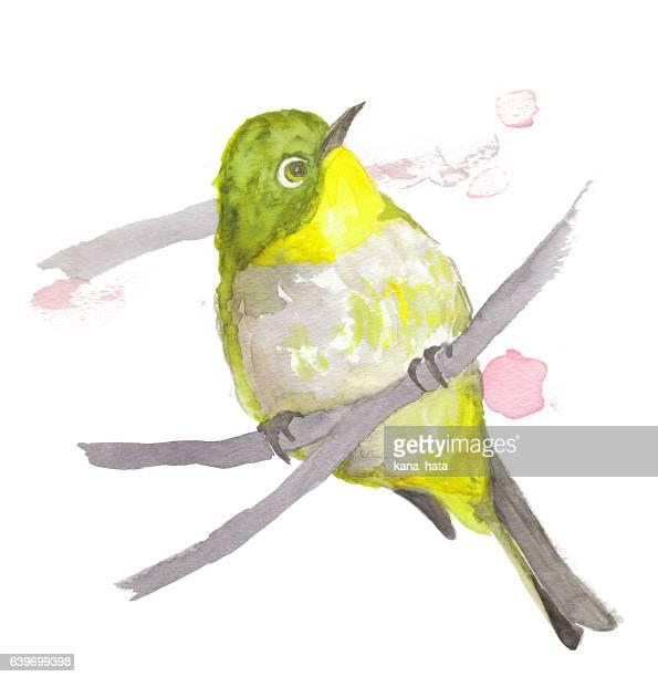 wild bird japanese white-eye - painted image stock illustrations