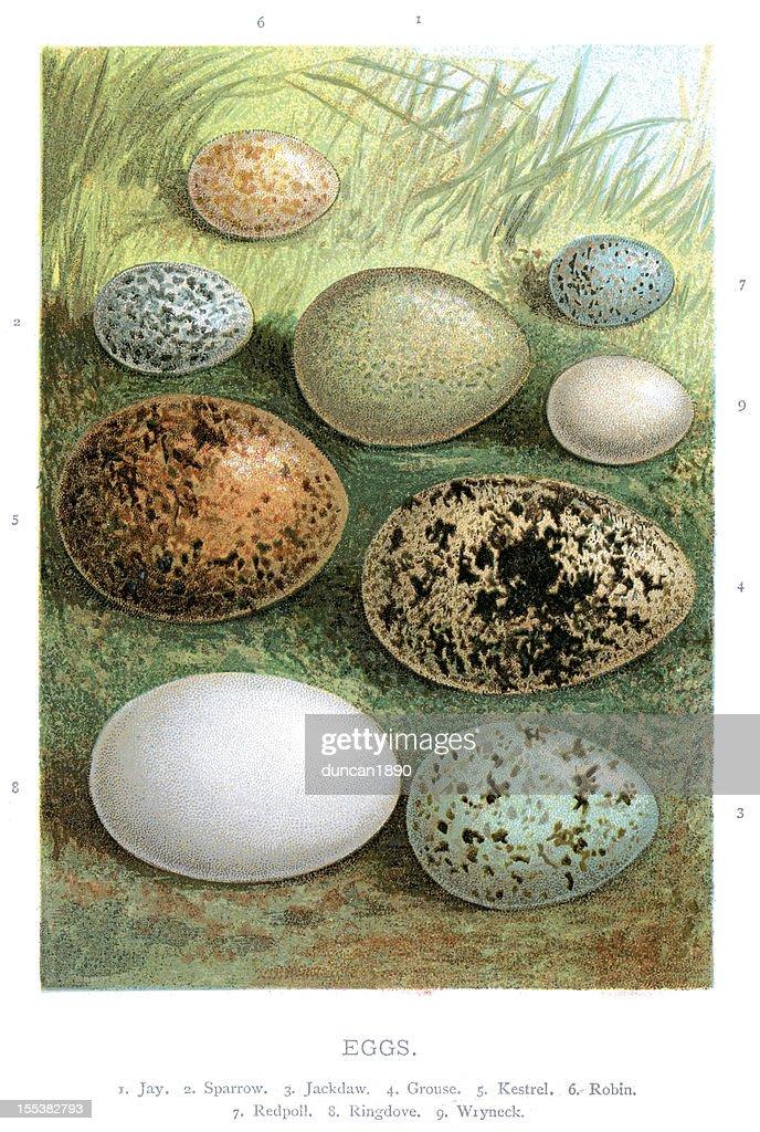 Wild Birds Eggs : stock illustration