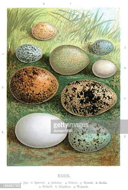 wild birds eggs - falcon bird stock illustrations, clip art, cartoons, & icons