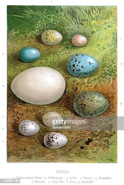ilustraciones, imágenes clip art, dibujos animados e iconos de stock de aves silvestres huevos - animal egg