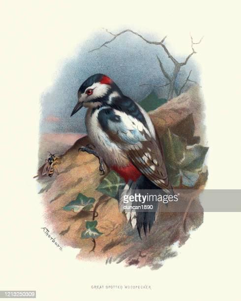 bildbanksillustrationer, clip art samt tecknat material och ikoner med vilda fåglar, stor fläckig hackspett (dendrocopos större) - litografi