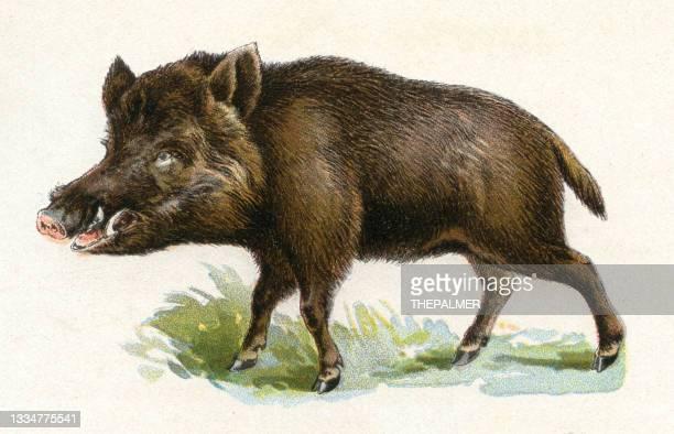 stockillustraties, clipart, cartoons en iconen met wild boar illustration 1899 - zoogdier