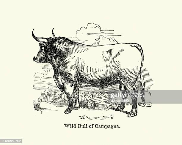 ilustrações, clipart, desenhos animados e ícones de touro selvagem de campagna, gravura do século xix - ox oxen