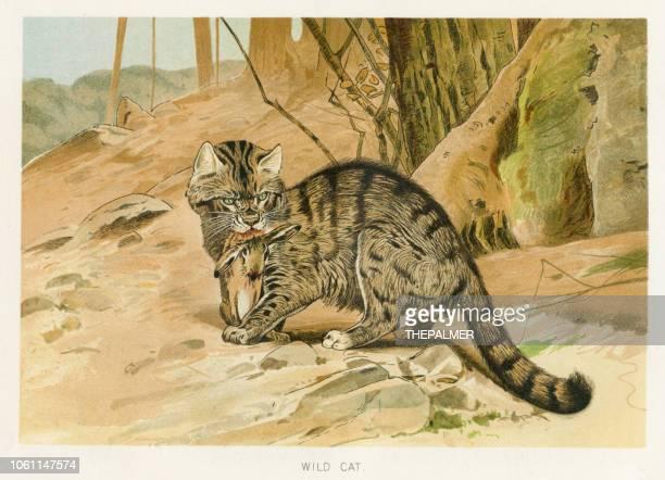 ilustrações, clipart, desenhos animados e ícones de chromolithograph de gato selvagem 1896 - zoologia