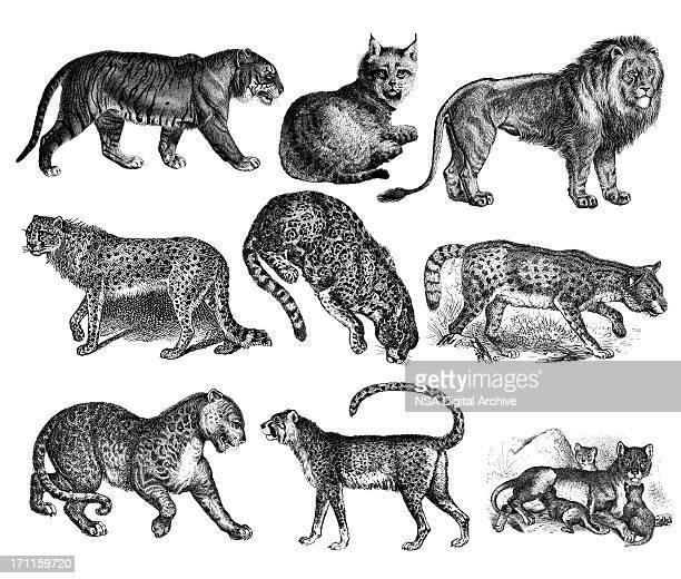 ilustraciones, imágenes clip art, dibujos animados e iconos de stock de tiger, wild gatos-león, lynx, cheetah, jaguar, leopardo - jaguar