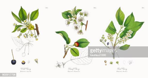 Wild Cherry, Prunus Avium, Victorian Botanical Illustration, 1863