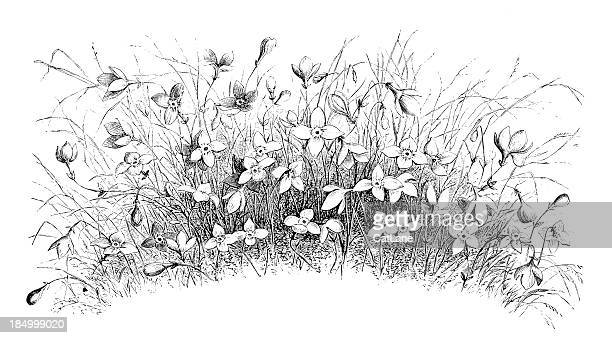 wild daffodils - paperwhite narcissus stock illustrations, clip art, cartoons, & icons