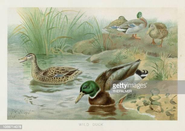 ilustrações de stock, clip art, desenhos animados e ícones de wild duck chromolithograph 1896 - litografia