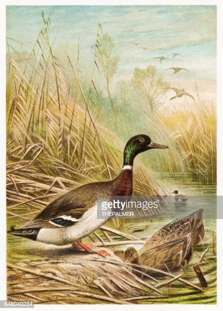 wild duck engraving 1892 - duck bird stock illustrations, clip art, cartoons, & icons
