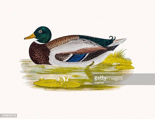 Wild Duck Waterfowl bird