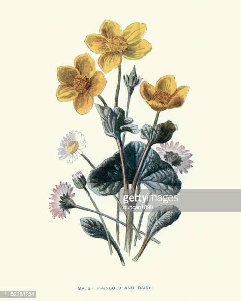 wild flowers, marsh marigold and daisy - ranunculus stock illustrations, clip art, cartoons, & icons