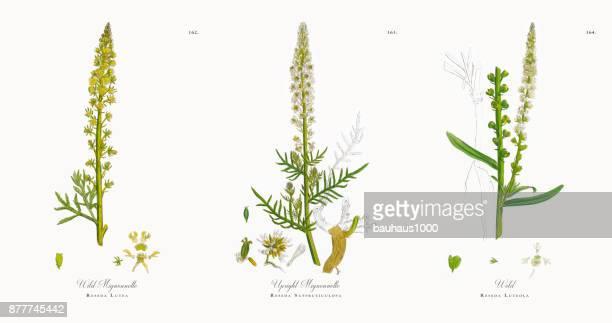 wild mignonnette, reseda lutea, victorian botanical illustration, 1863 - plant bulb stock illustrations, clip art, cartoons, & icons