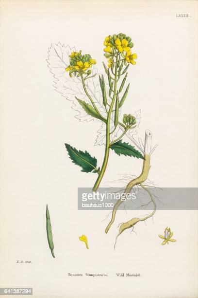 野生マスタード、アブラナ科植物の Sinapistrum、ビクトリア朝の植物図、1863