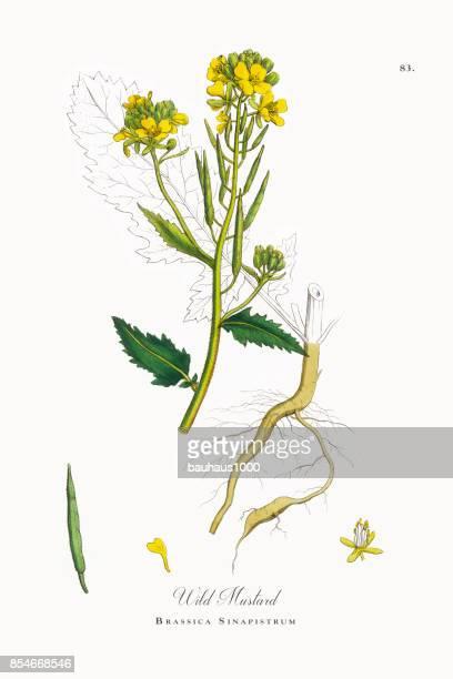 wild mustard, brassica sinapistrum, victorian botanical illustration, 1863 - mustard stock illustrations