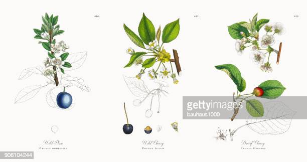 Wild Plum, Prunus domestica, Victorian Botanical Illustration, 1863