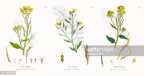 Wild Radish, Raphanus Raphanistrum, Victorian Botanical Illustration, 1863