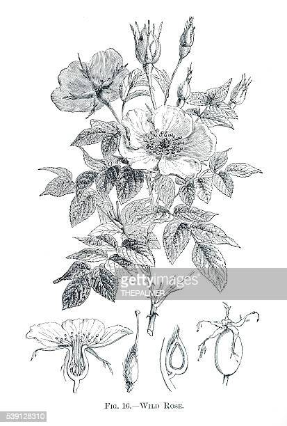 wild rose engraving 1898 - rose flower stock illustrations, clip art, cartoons, & icons