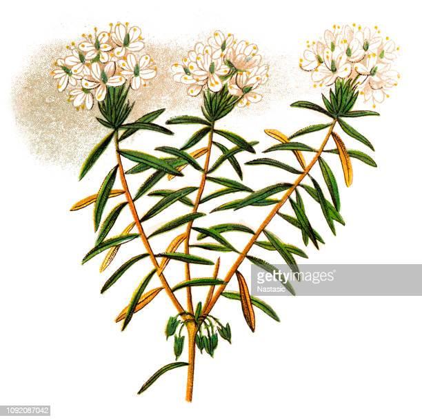 wild rosemary (ledum palustre) - aromatherapy stock illustrations, clip art, cartoons, & icons
