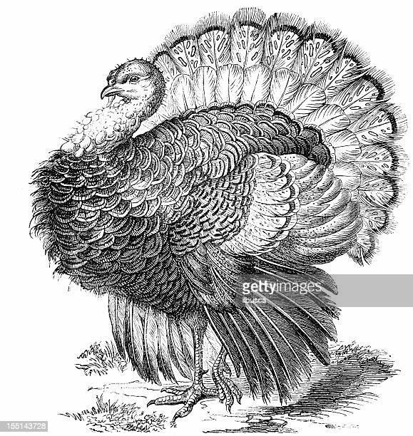 bildbanksillustrationer, clip art samt tecknat material och ikoner med wild turkey (meleagris gallopavo) - gravyr