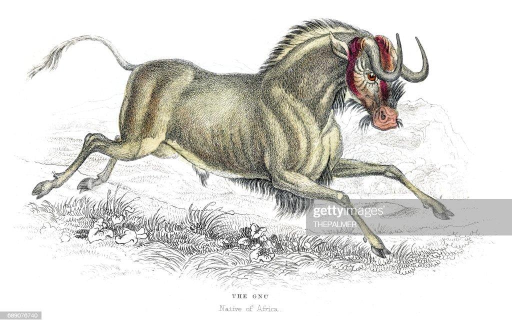 Wildebeest lithograph 1884 : Stock Illustration