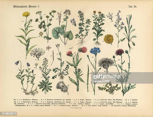wildflower and medicinal herbal plants, victorian botanical illustration - thistle stock illustrations, clip art, cartoons, & icons