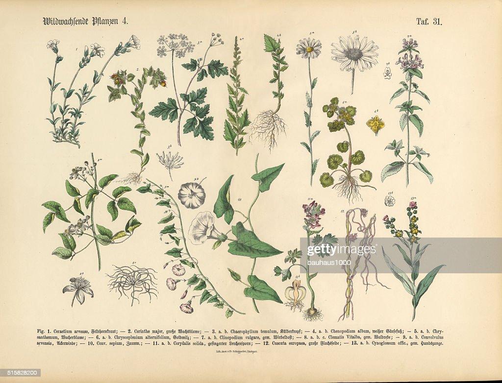 Wildflower and Medicinal Herbal Plants, Victorian Botanical Illustration : stock illustration