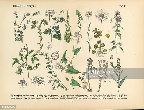 wildflower and medicinal herbal plants, victorian botanical illustration - chickweed stock illustrations, clip art, cartoons, & icons