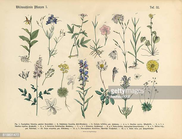 wildflower and medicinal herbal plants, victorian botanical illustration - ranunculus stock illustrations, clip art, cartoons, & icons