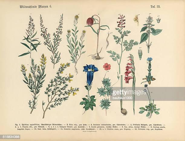 wildflower and medicinal herbal plants, victorian botanical illustration - plant bulb stock illustrations