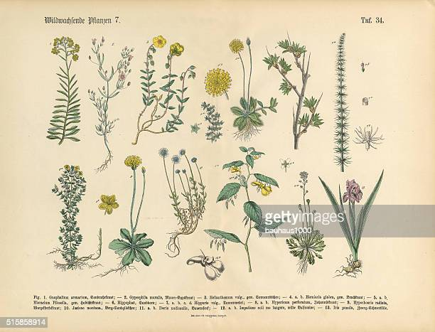 wildflower and medicinal herbal plants, victorian botanical illustration - plant bulb stock illustrations, clip art, cartoons, & icons