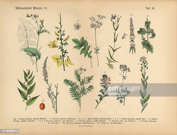 ilustrações de stock, clip art, desenhos animados e ícones de granadilha e medicamentos à base de plantas plantas, vitoriano ilustração floral - litografia