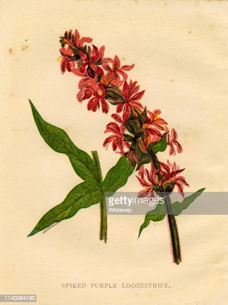 Wildflower spiked purple loosestrife Victorian botanical illustration by Anne Pratt