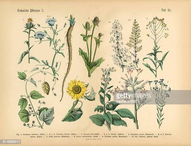 wildflowers, annual and perennial plants, victorian botanical illustration - sunflower stock illustrations, clip art, cartoons, & icons