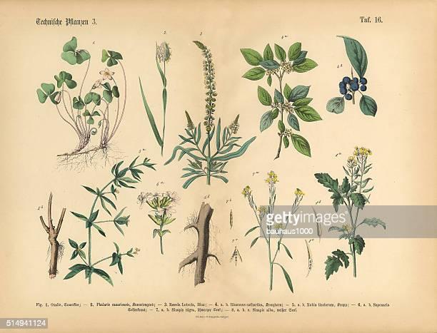 ワイルドフラワー、年次、多年生植物、ビクトリア朝の植物イラストレーション