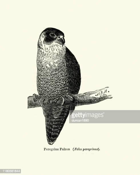 wildlife, birds fo prey, peregrine falcon (falco peregrinus) - peregrine falcon stock illustrations, clip art, cartoons, & icons