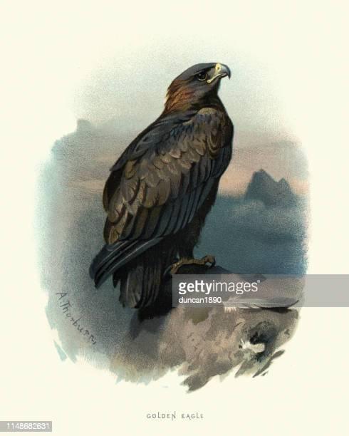 wildlife, birds, golden eagle (aquila chrysaetos) - animals hunting stock illustrations