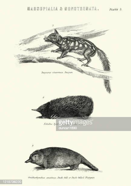 wildlife print, echidna, spiny anteater, quoll, duck billed platypus - echidna stock illustrations
