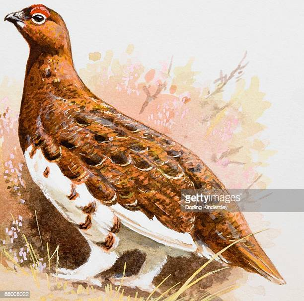 Willow grouse (Lagopus lagopus), side view