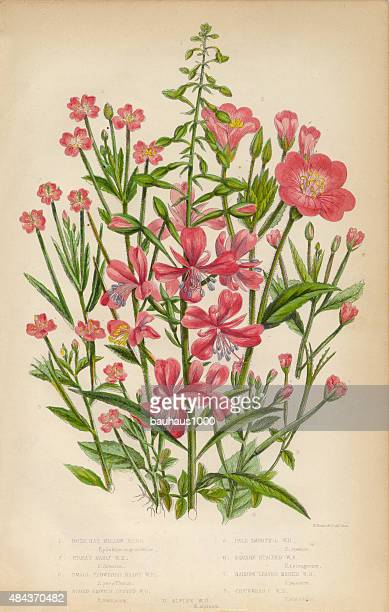willow herb, bay leaf and chickweed, victorian botanical illustration - chickweed stock illustrations, clip art, cartoons, & icons