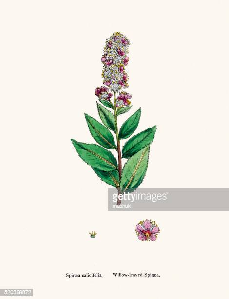 Willow leaved spirea plant 19th century illustration