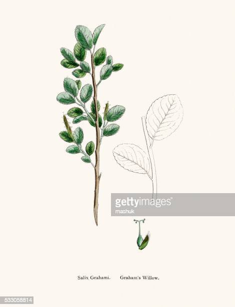 Willow médicinales arbre soulage les douleurs et des fièvre